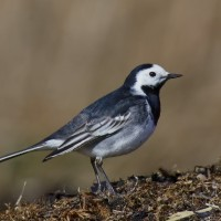 Pied Wagtail (British & Irish)
