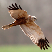 European Marsh Harrier