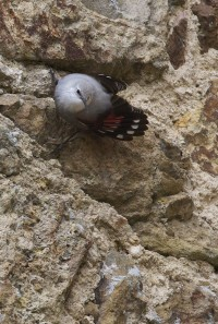 Wallcreeper in the village of Dinan